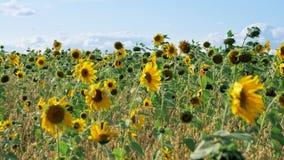 Gebied met kleurrijke zonnebloemen die op de wind slingeren stock footage