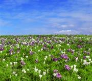 Gebied met krokussen in de lentetijd Stock Foto