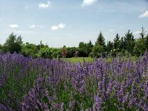 Gebied met lavendel royalty-vrije stock afbeeldingen