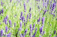 Gebied met lavendelbloemen stock afbeeldingen