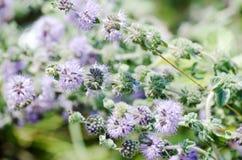 Gebied met lavendelbloemen stock foto