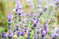 Gebied met lavendelbloemen royalty-vrije stock fotografie