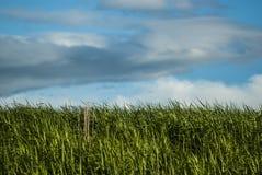 Gebied met nog groene tarwe en een paar dode grasbladen als contrast en blauwe hemel met fantastische wolken royalty-vrije stock afbeelding