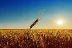 Gebied met oogst en zonsondergang Royalty-vrije Stock Fotografie