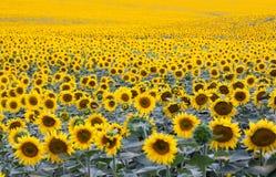 Gebied met overvloed van tot bloei komende zonnebloemen stock foto