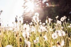 Gebied met paardebloemen in de zomer Horizontale foto royalty-vrije stock afbeeldingen