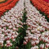 Gebied met partijen Canada 150 witte en rode tulpen Stock Afbeeldingen