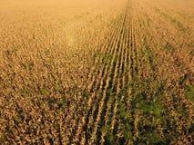 Gebied met rijp graan Droge stelen van graan Mening van cornfield van hierboven Graanaanplanting, rijpe maïskolven, klaar te oogs Stock Foto's