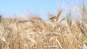 Gebied met rijpe tarwe, met dicht gefilmde aren stock footage