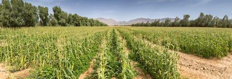 Gebied met rijpend graan in de Negev-woestijn stock afbeelding