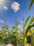 Gebied met rijpend graan in woestijn stock foto