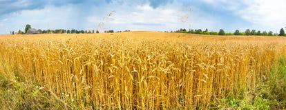 Gebied met rijpende tarwe, Letland stock fotografie