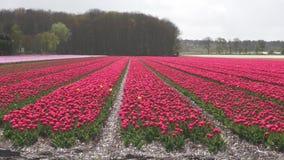 Gebied met rode tulpen stock videobeelden