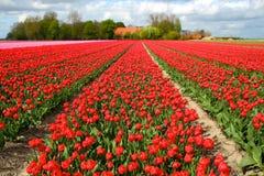 Gebied met rode tulpen in Nederland royalty-vrije stock foto's