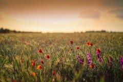 Gebied met tarwekorrel en rode papaverbloemen bij schemer royalty-vrije stock foto