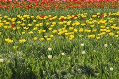 Gebied met witte, gele en rode tulpen Stock Foto's
