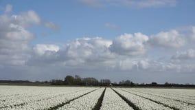 Gebied met witte tulpen stock video