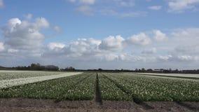 Gebied met witte tulpen stock footage