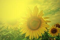 Gebied met zonnebloem in het ochtendlicht Stock Foto
