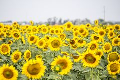 Gebied met zonnebloemen Royalty-vrije Stock Foto