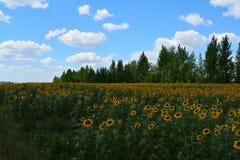Gebied met zonnebloemen Stock Foto's