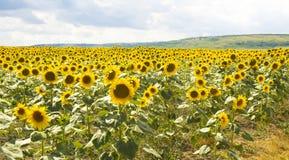 Gebied met zonnebloemen Royalty-vrije Stock Fotografie