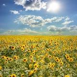 Gebied met zonnebloemen en de blauwe hemel royalty-vrije stock afbeelding