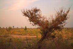Gebied rond Nagpur, India Droge uitlopers met boomgaarden & x28; landbouwers gardens& x29; Stock Foto