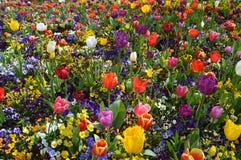 Gebied of tulpen en pansies Royalty-vrije Stock Foto