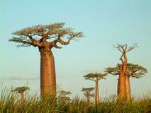 Gebied van baobabs Royalty-vrije Stock Afbeelding