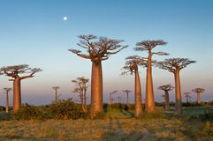 Gebied van Baobabs Stock Foto's