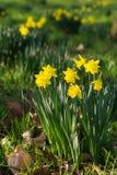 Gebied van bloeiende gele narcissen Stock Fotografie