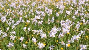 Gebied van bloeiende gele narcissen en boterbloemen Mooi bloemenlandschap stock footage