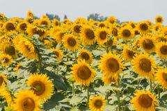 Gebied van bloeiende horizontale zonnebloemen - Royalty-vrije Stock Fotografie