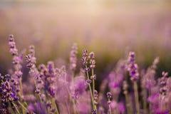 Gebied van bloeiende lavendel royalty-vrije stock foto's
