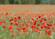 Gebied van bloeiende rode papavers Royalty-vrije Stock Afbeeldingen