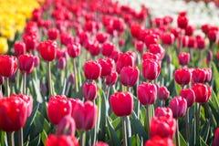Gebied van bloeiende rode tulpen Stock Foto