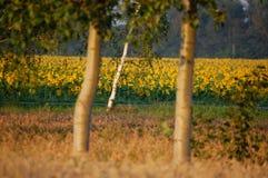 Gebied van bloeiende zonnebloemen in de ochtend Stock Foto