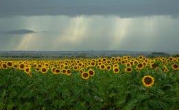 Gebied van bloeiende zonnebloemen en een regen Royalty-vrije Stock Afbeelding