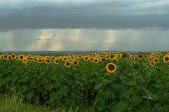 Gebied van bloeiende zonnebloemen met donkere regenende wolken Stock Afbeeldingen