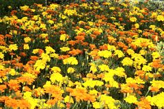 Gebied van bloemen Stock Afbeelding