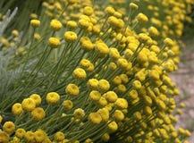 Gebied van bloemen Santolina Stock Afbeelding