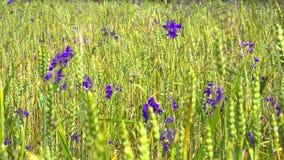 Gebied van bloemen Wilde flofers wildflowers stock video