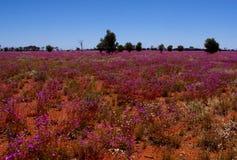Gebied van Broad-Leaf Parakeelya-bloemen in de Australische Woestijn Royalty-vrije Stock Afbeeldingen