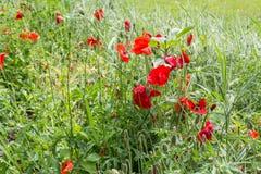 Gebied van de Bloemen van de Papaver Royalty-vrije Stock Foto