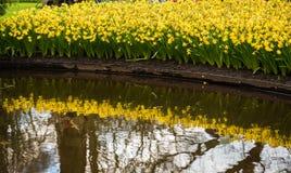 Gebied van de gele narcissen van de lentenarcissen Stock Afbeelding