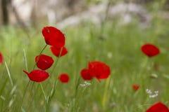 Gebied van de heldere rode bloemen van de graanpapaver Stock Fotografie
