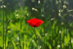 Gebied van de heldere rode bloemen van de graanpapaver in de zomer Papaverrhoeas Stock Afbeeldingen
