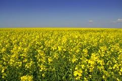 Gebied van de lente het gele bloemen en blauwe hemel Stock Afbeelding