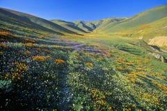 Gebied van de papavers van Californië in bloei met wildflowers, Lancaster, Antilopevallei, CA Stock Afbeeldingen